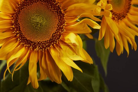 Photo for Dark background with beautiful yellow sunflowers, on black - Royalty Free Image