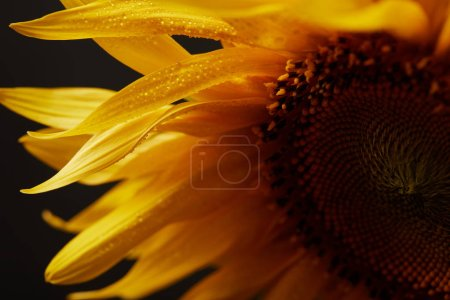 close up of wet orange sunflower petals, isolated on black