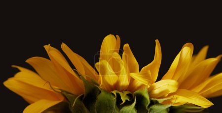 side view of yellow sunflower petals, isolated on black