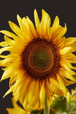 wet bright yellow sunflower, isolated on black