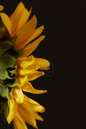 rear view of yellow sunflower with petals, isolated on black