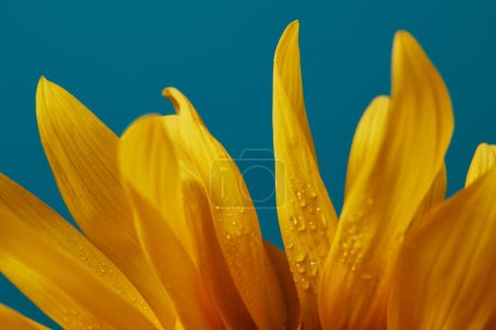 drops on yellow sunflower petals, isolated on blue