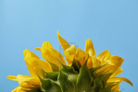 rear view of beautiful yellow sunflower, isolated on blue