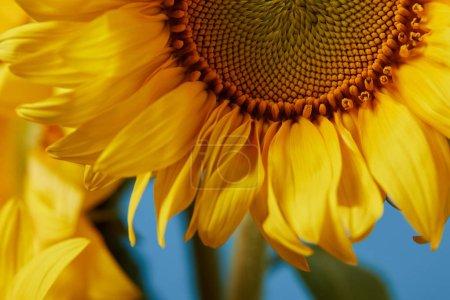 close up of beautiful yellow sunflower on blue