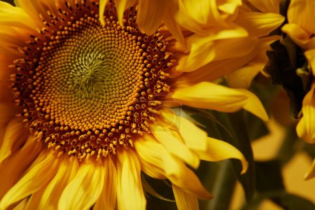 close up background with beautiful yellow sunflower