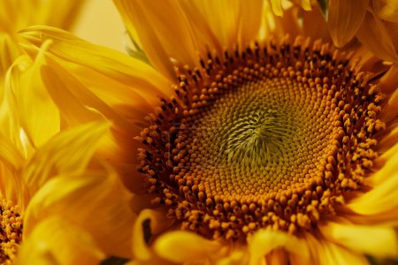 beautiful texture with yellow sunflower, close up