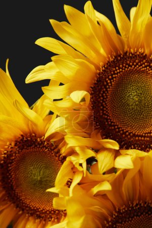 beautiful summer fragrant yellow sunflowers background, isolated on black