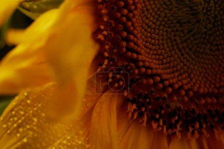 close up of wet natural orange sunflower