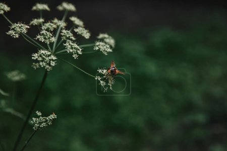 selective focus of bee on cow parsley flowers with blurred background