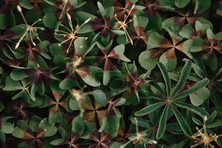 full frame image of bronze dutch clover covered by water drops background