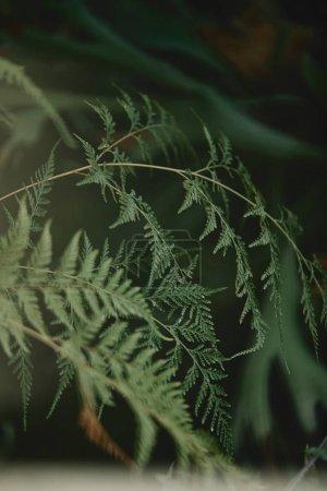 Foto de Enfoque selectivo de ramas con hojas verdes de ciprés en el fondo borroso - Imagen libre de derechos