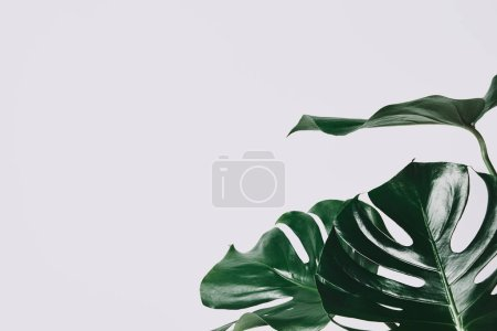 Photo for Close-up shot of monstera leaves isolated on white - Royalty Free Image