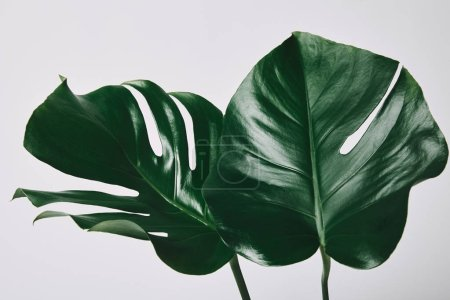 Photo for Beautiful green monstera leaves isolated on white - Royalty Free Image