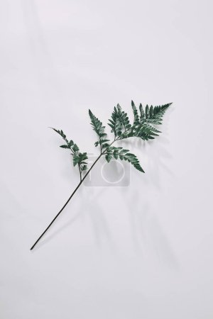 top view of single green fern branch lying on white on white