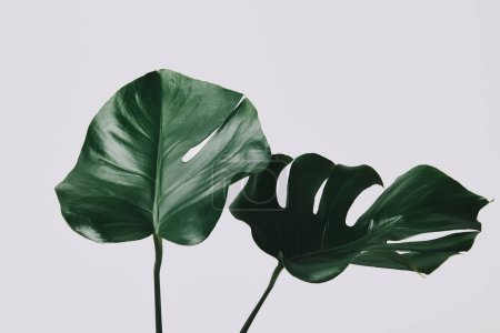 close-up shot of monstera leaves isolated on white