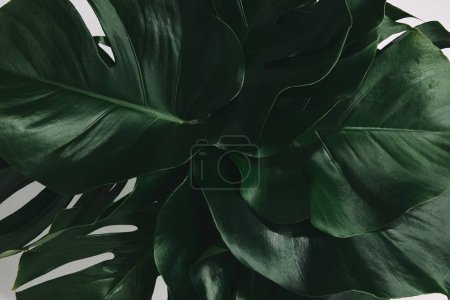 Photo for Full frame shot of bunch of monstera leaves isolated on white - Royalty Free Image