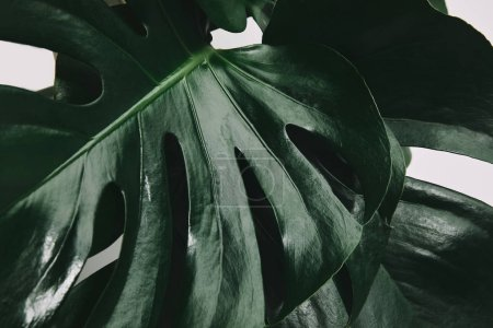 Photo pour Coup de plein cadre de feuilles de monstera isolés sur blanc - image libre de droit