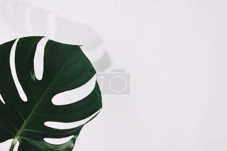 Photo pour Plan rapproché d'une seule feuille de monstère verte sur fond blanc - image libre de droit