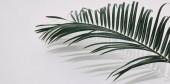 """Постер, картина, фотообои """"макро снимок пальмовую ветвь над белым настольные"""""""