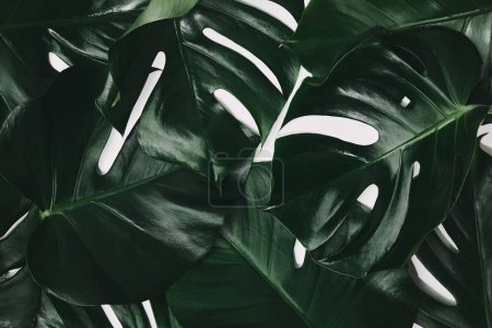 full frame shot of green monstera leaves isolated on white