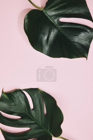 Photo for Top view of monstera leaves on pink surface - Royalty Free Image