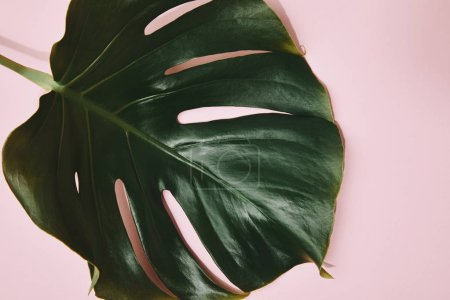 Photo for Partial view of green monstera leaf on pink tabletop - Royalty Free Image