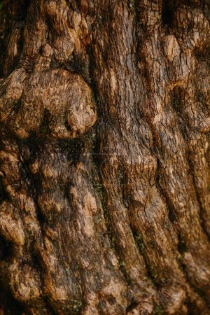 close up of brown old oak bark
