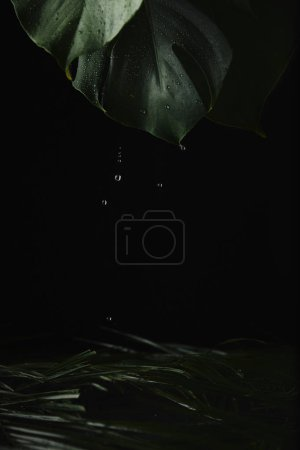Photo for Close-up view of green wet tropical leaves and water drops on black - Royalty Free Image