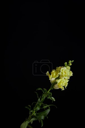 beautiful yellow flowers with buds on green stem with leaves isolated on black