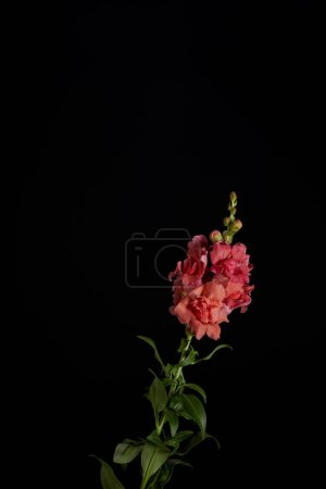 beautiful decorative blooming pink gladiolus with buds isolated on black