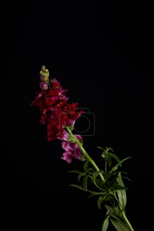 beautiful maroon flowers on green stem with leaves isolated on black
