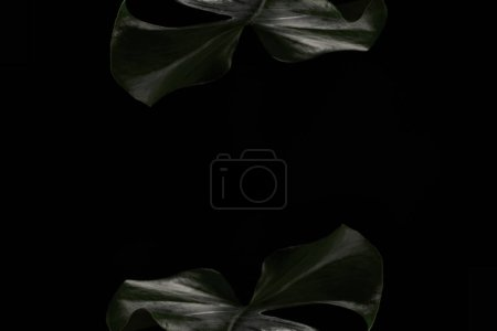 beautiful dark green monstera leaves isolated on black background