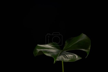 close-up view of beautiful dark green monstera leaf isolated on black background