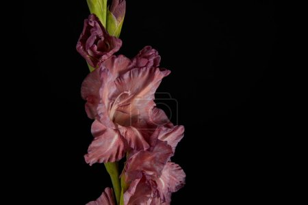 close-up view of beautiful fresh violet gladiolus isolated on black background