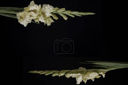 beautiful yellow gladioli flowers with buds isolated on black background