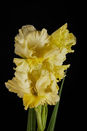 close-up view of beautiful fresh tender yellow gladiolus isolated on black