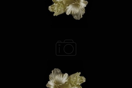 Photo pour Belles fleurs de gladioli jaune fraîche isolées sur fond noir - image libre de droit
