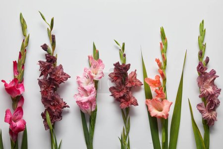 beautiful pink and violet gladioli flowers on grey background
