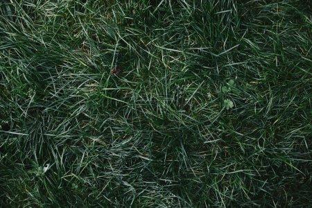 Photo pour Vue de dessus d'herbe verte dans le jardin - image libre de droit