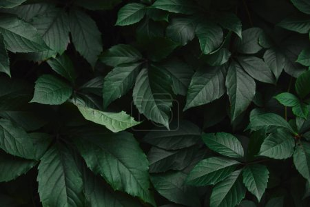 close up of dark green wild vine leaves in park