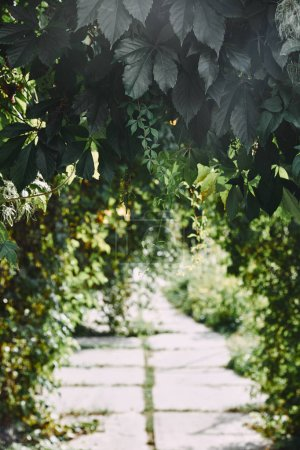 green wild vine leaves in garden above blurred pathway