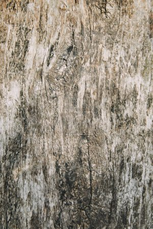 Photo for Close up of shabby grey bark of tree - Royalty Free Image