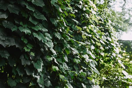 green leaves of ivy on fence in garden