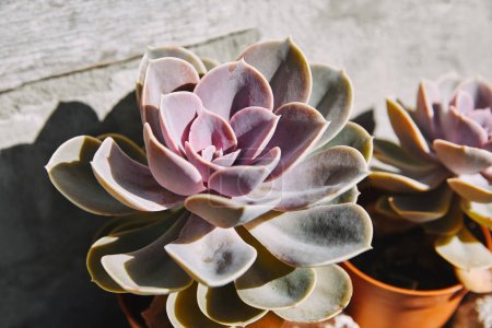 beautiful purple potted succulents with sunlight