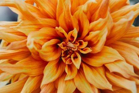 close up of beautiful orange chrysanthemum in garden