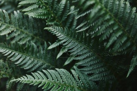 close up of beautiful dark green ferns leaves in garden