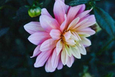 beautiful white and purple chrysanthemum in garden