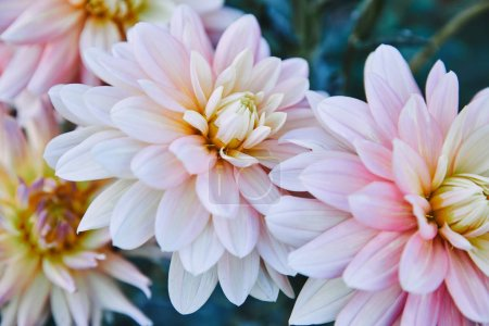 close up of beautiful white and purple chrysanthemums in garden