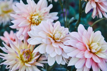 beautiful white and purple golden daisy flowers in garden