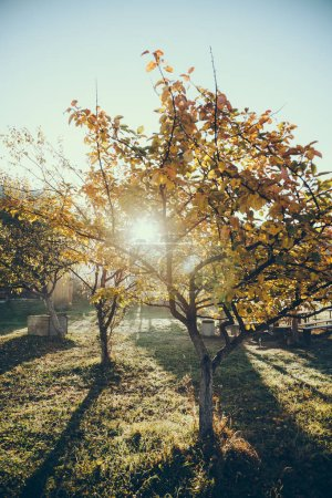 sun shining through autumnal golden tree in garden in Vorokhta, Carpathians, Ukraine
